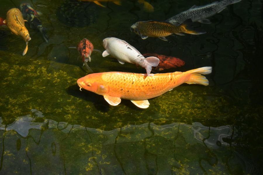 Underwater Sea Life Water Fish Animal Wildlife Animals In The Wild No People Nature Swimming UnderSea Outdoors Beauty In Nature Day Animal Themes Close-up Freshness Carp Fish