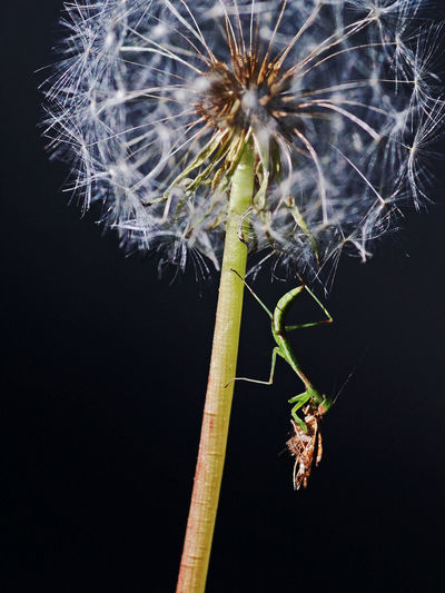 The beauty and brutality of nature Eating Feeding  Macro Photography Victim Beauty In Nature Black Background Brutality In Nature Close-up Daisy Seed Head Fragility Greedy Growth Insect Insect Photography Moth Nature No People Outdoors Plant Praying Mantis Predator Prey