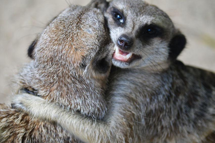 Nature Meerkats Animals