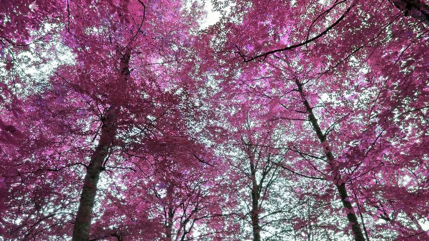 Pink forest Low Angle View Tree Branch Full Frame Backgrounds No People Pink Color Beauty In Nature Nature Outdoors Close-up Sky Day EyeEm Selects Followme Scenics Eyeemphotography EyeEmNewHere Yedigöller Milli Parkı Turkey Photography Beauty In Nature Freshness Flower Neon Life