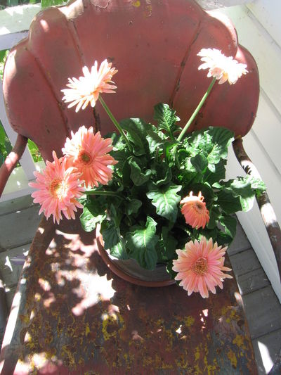 Beauty In Nature Blooming Day Flower In Bloom Metal Lawn Chair No People Pink Color Potted Plant Shell Chair