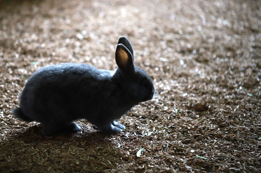 Black farm rabbit Farm Animal Animal Themes Animal Wildlife Animals In The Wild Black Color Day Field Land Looking Nature No People One Animal Outdoors Rabbit Selective Focus Side View Vertebrate Young Animal Zoology