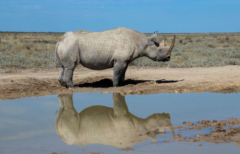 Rhinoceros on shore against clear sky