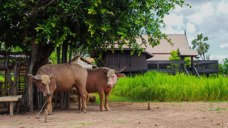 Buffalo Thailand Buffalo Thailand Animal Themes Architecture Building Exterior Built Structure Cow Day Domestic Animals Field Full Length Grass Growth Livestock Mammal Nature No People One Animal Outdoors Sky Standing Tree