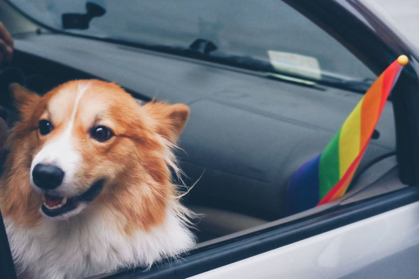 Dog Pets Domestic Animals Car Transportation Close-up Animal Themes One Animal No People Mammal Outdoors Love Portrait Parade Prideparade Pride Freedom Rainbow Happiness Corgi Dogs Proud Cheerful Smiling