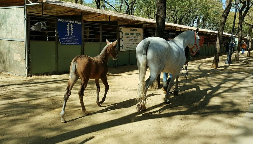 Caballo Pura Raza Español Horses Animal Themes Mare With Her Foal Two Horses Herbivorous Outdoor Photography Outdoors Day The City Light