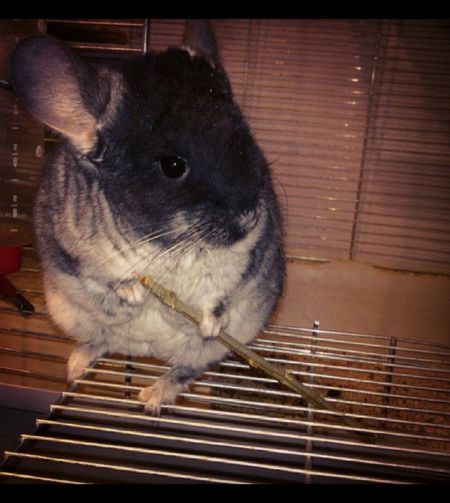 My Chinchilla MyLove❤ Animals