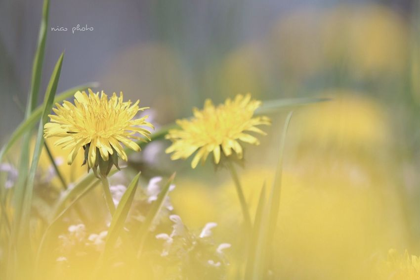 EyeEmBestPics EyeEm Best Shots Flowers, Nature And Beauty Flower Collection Flower Head Bokeh Photography Bokeh 前ボケ Dandelion タンポポ タンポポ Flower Flowering Plant Plant Freshness Beauty In Nature Fragility Vulnerability  Yellow Close-up Nature