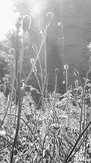 Grass And Flowers Little Flowers Sunlight Blackandwhite Photography