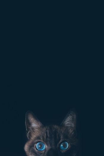 Cat Animal Eye Mammal Domestic Cat One Animal Animal Themes Feline Domestic Animals Portrait Animal Body Part Pets Domestic Copy Space Looking At Camera Indoors  Studio Shot Body Part Vertebrate Animal Eye Black Background No People Animal Head  Whisker