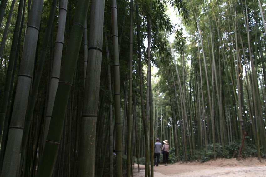 Juknokwon, the famous bamboo park in Damyang, Jeonnam, South Korea Damyang Juknokwon Bamboo - Plant Bamboo Grove Bamboo Park Beauty In Nature Day Forest Growth Nature One Person Outdoors People Real People Tranquility Tree Tree Trunk