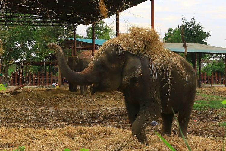 Animal Themes Elephant Day No People Outdoors Nature Mammal Elephant ♥ Straw