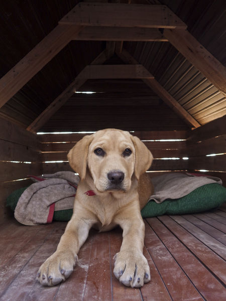 Dog House Golden Retriever Puppy Love Canine Dog Dog Love Domestic Litle Dog No People One Animal Pets Portrait Puppy Retriever Small Dog