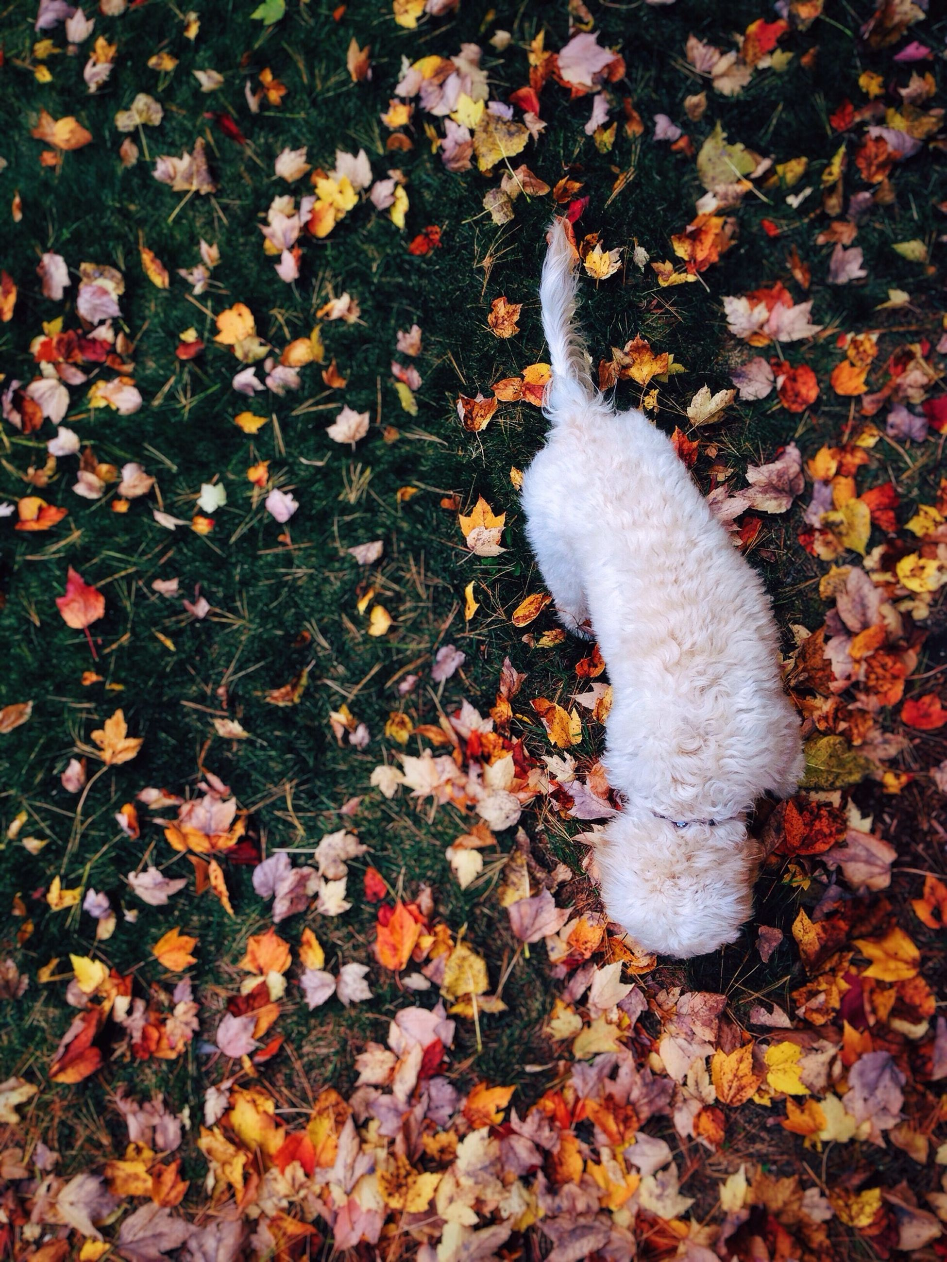 leaf, autumn, change, high angle view, season, leaves, field, nature, fallen, animal themes, dry, falling, day, outdoors, grass, ground, no people, one animal, white color, park - man made space
