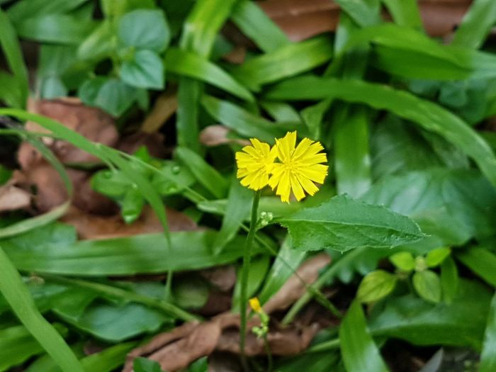Leaf Flower Green Color Plant Yellow Nature Petal Flower Head Growth Fragility Summer Freshness Outdoors Beauty In Nature Close-up Day Nature Reserve Plant Part No People Weed Flower Hypochaeris Radicata Catsear Flatweed False Dandelion