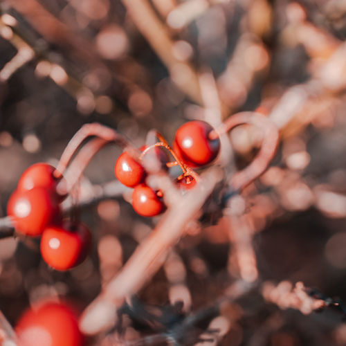 Close-up of tomatoes on branch
