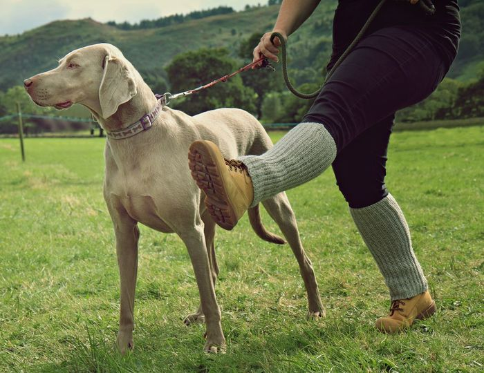 Dog Walking HoundDog Pet Portraits The Week On EyeEm Animal Themes Competition Dog Dog Training Domestic Animals Human Body Part Human Leg Hunting Dog Lifestyles Low Section Marching One Animal Pet Collar Pets Real People Weimaraner Be. Ready.