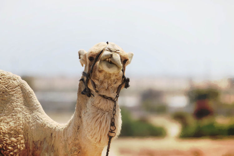 Portrait Of Camel Against Sky