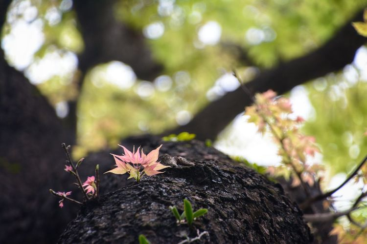 Maple Leaf Leaf