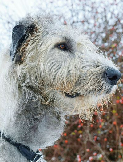 Animal Themes Mammal Animals In The Wild Close-up Outdoors Nature Bokeh It Is Cold Outside The Places I've Been Today Winter 2017 January 2017 How Is The Weather Today? Hagebutten Cearnaigh Irish Wolfhound Dogslife Dogs Of EyeEm Dog Of The Day Dogwalk Dogs Of Winter
