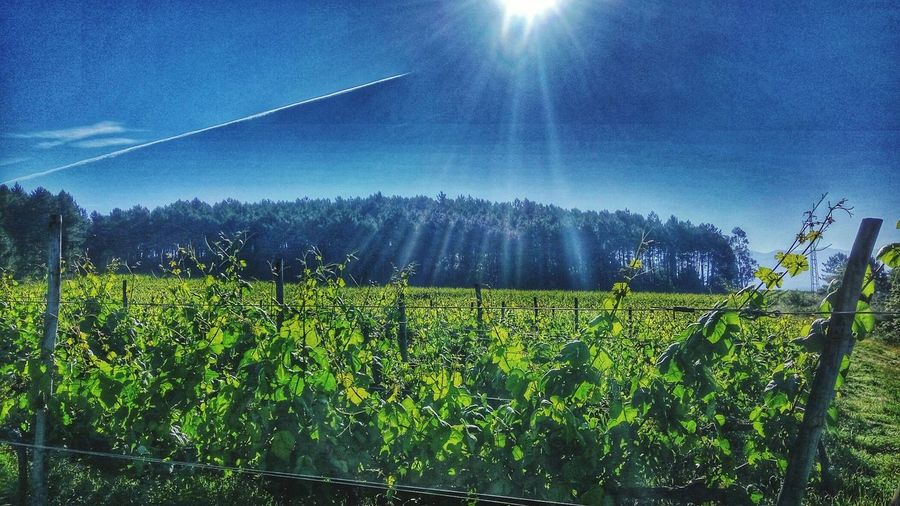 Good morning 😊 Vineyard Vines Vine 🍷 Vineyardvines Morning Blue Sky Sun Landscape Landscape_photography Landscape_lovers Landscapelover