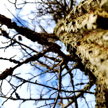 Lunch Time! Roadsidephotography Essex Chelmsford Field Maple Field Maple Bark Bark Texture Tree Branch Nature Outdoors Day Beauty In Nature Low Angle View Backgrounds Sky Growth Bare Tree No People Close-up Full Frame Freshness