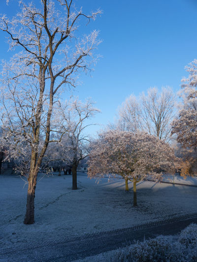 Cherry blossom tree on field against blue sky
