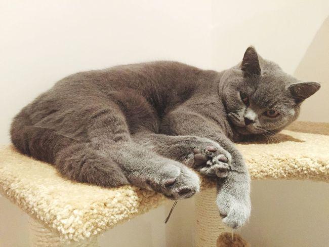 George the Georgous grey cat Pets Cats Grey