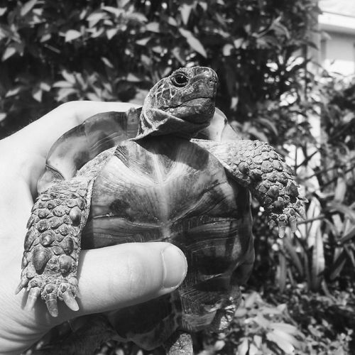 Cropped hand holding turtle