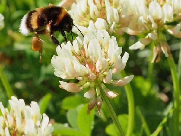 Humla Bumblebee M.Zuiko 45mm 1:1,8