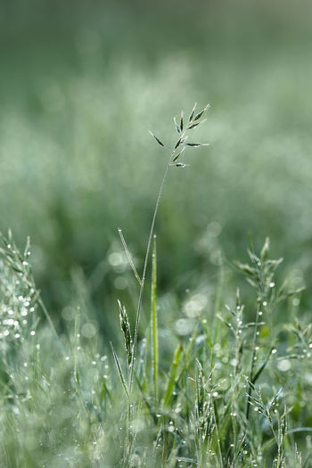 Grass with glistening dew droplets on a misty morning Beauty In Nature Blade Of Grass Close-up Day Dewdrops Field Focus On Foreground Fragility Glistening Droplet Grass Green Color Growth Land Misty Morning Nature No People Outdoors Plant Selective Focus Tranquility Vulnerability