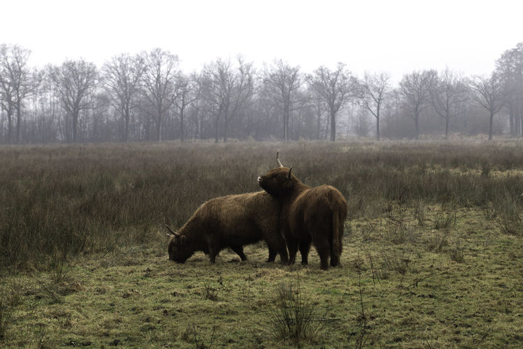 Animal Themes Animal Wildlife Domestic Animals Field Grass Highland Cattle Mammal Nature No People Tree