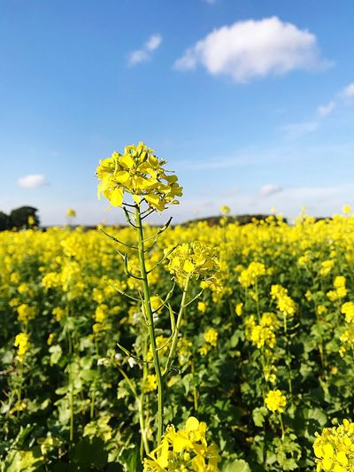 Yellow flower Flower Flowering Plant Yellow Plant Growth Beauty In Nature Oilseed Rape