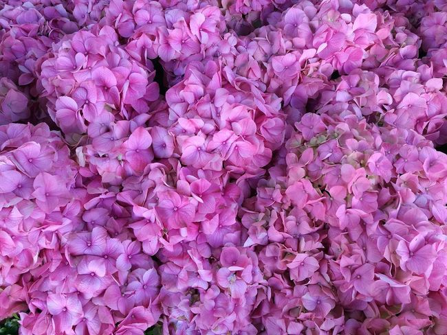 Pink Color Close Up Flowers Flowers Plants And Flowers Flowers, Nature And Beauty Close-up Outdoors High Angle View Full Frame Plants Pink Pink Flowers Growth Nature Beauty In Nature Blooming Flower Blooms Plant Close Up Flower Day Smartphonephotography