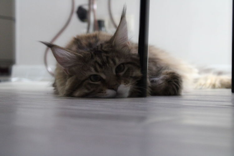Portrait of cat resting on floor at home
