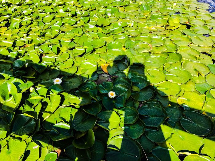 Precious time Lilypads Green Color Plant Growth Leaf Plant Part Day Nature Full Frame No People High Angle View Beauty In Nature Sunlight Water Lake Floating Backgrounds Tranquility Outdoors Floating On Water Flower