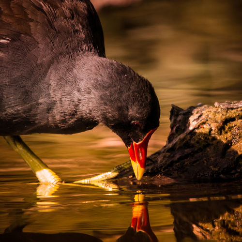Close-up of moorhen foraging in lake