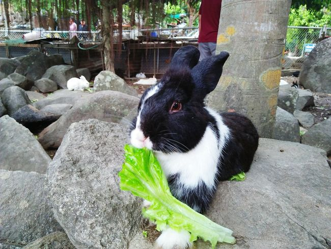 Rabbit eat vegetables Rabbit - Animal Mammal Cute Rabbit ,bunny Animals In The Wild Rabbitrocks Cave Zoo Animals  Close-up Water Animal Rabbit Face Eye Rabbit Freshness One Animal Zoo Animals  Animal Eat Zoo Animals Pet Animal Eat White And Black Wild Rodents Adorable Furry Backgrounds Cluseup Nature