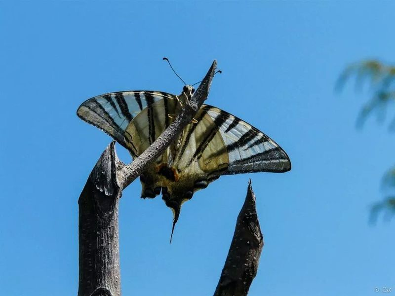 Butterfly Farfalla