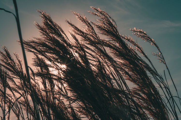 Reed Grass Sky Tranquility Plant Nature Beauty In Nature No People Growth Day Outdoors Sun Nature Reed Grass Contrast Clouds Landscape Horizon Plant Grassland Swamp Backlight