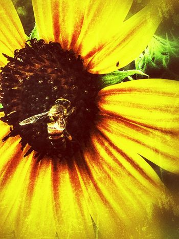 Grunge_effect Sunflower Head Bee Honey Bee Pollination Sunflowers Sunflower Eyeem Insects Wildlife & Nature Wildlife Wildflower Eyeemphotography Eye4photography  EyeEm Flower EyeEm Nature Lover Flower Collection Insect Collection Insect Paparazzi Insect Photography IPhone Iphoneonly IPhoneography Backgrounds Wild Flower Fragility Petal Beauty In Nature Flower Head Nature Growth Freshness Pollen No People Close-up Yellow Day Plant Outdoors Animal Themes Perspectives On Nature
