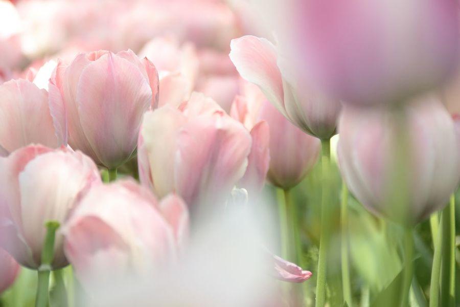 EyeEm Nature Lover Flowerporn EyeEm Best Shots Hello World Year Springtime! Flowers Spring Eye4photography  Tulip Showcase April Taking Photos Tulips Bloom