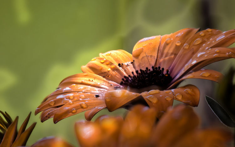 Wets an orange daisy with water droplets - bloom after rain Beauty In Nature Blooming Close-up Daisies Flowers Daisy Flower Daisy 🌼 Day Day Lily Flower Flower Head Focus On Foreground Fragility Freshness Growth Macro Beauty Macro Photography Macro_collection Makro Photography Nature No People Outdoors Petal Plant Water