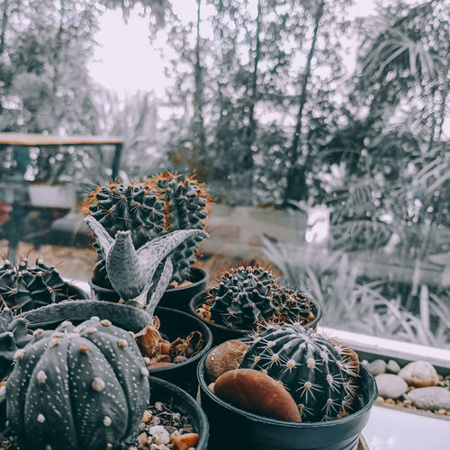 Close-up of cactus growing on potted plant