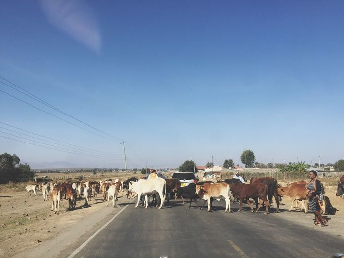 Morning commute in Gilgil Livestock Large Group Of Animals Herbivorous Cattlecrossing Cattleontheroad Cattle Farminginafrica Africa Africanfarming Cows
