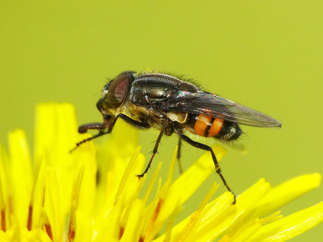 Stomorhina Lunata (male) - Serchio River Animal Themes Animal Wildlife Animals In The Wild Arthropoda Beauty In Nature Calliphoridae Close-up Diptera Flower Flower Head Fly Fly Fragility Freshness Hexapoda Insect Insecta Nature Rhiniinae Stomorhina Stomorhina Lunata Yellow