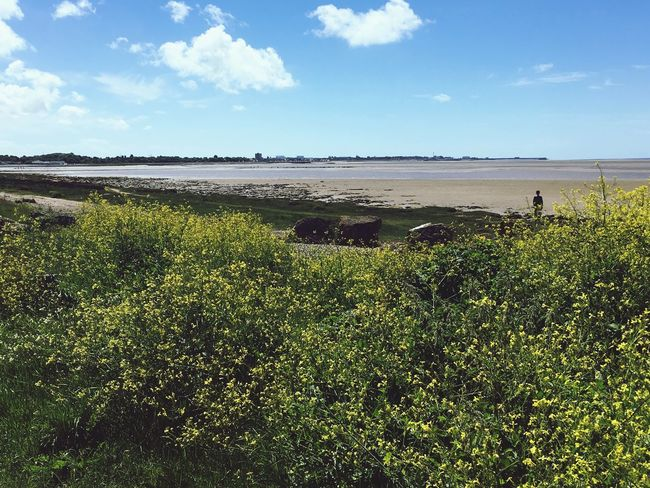 Morecambe Bay  Morecambe Lancashire Nature Beauty In Nature Scenics Sky Clouds Cloud - Sky Gorce Bush Yellow Flower Yellow Blue Sky Fluffy Clouds