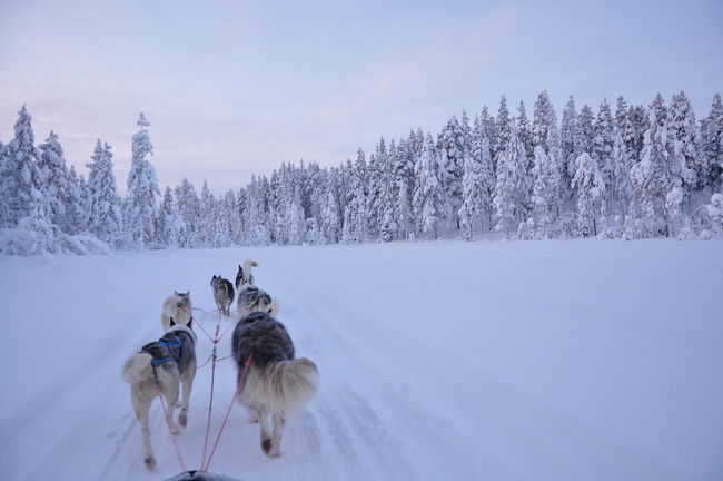 Animal Themes Cold Temperature Day Dog Domestic Animals Effort Mammal Nature Outdoors People Pets Pulling Siberian Husky Sled Sled Dog Snow Sports Race Teamwork Tree Winter Working Animal