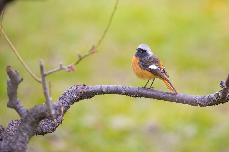 咲き出した梅にジョウビタキ 大阪城梅林 OSAKA Japan Bird Perching Branch Tree Full Length Animal Themes Close-up
