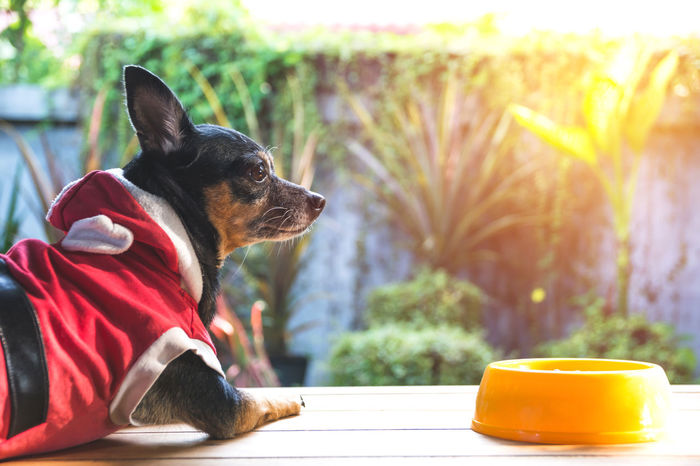 Cute small dog with bowl of dog food. Pets is feeding concept. Animal Animal Themes Canine Close-up Day Dog Domestic Domestic Animals Focus On Foreground Looking Looking Away Mammal Nature No People One Animal Pets Relaxation Sitting Sunlight Vertebrate